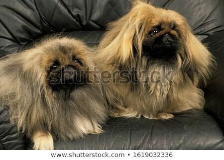 Kettő kutyák kanapé díszállat aranyos senki Stock fotó © IS2