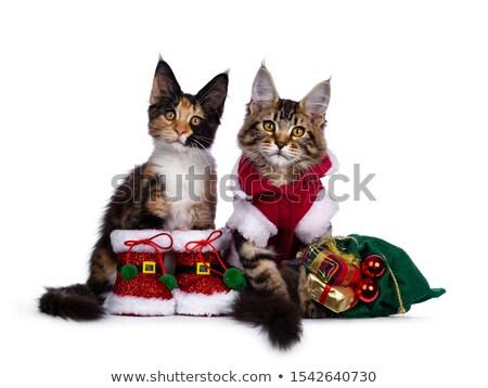 черный · Мэн · котят · белый · кошки - Сток-фото © CatchyImages