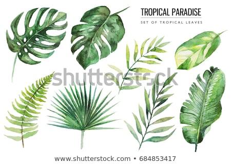 suluboya · tropikal · yaprakları · yalıtılmış · beyaz · palmiye · yaprağı - stok fotoğraf © artspace