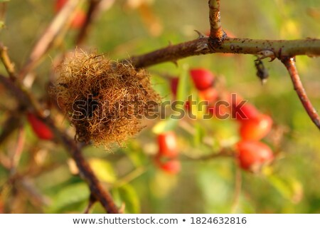 orange plant gall Stock photo © prill