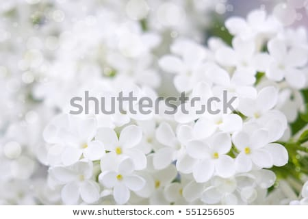 Blooming lilac flowers Stock photo © neirfy