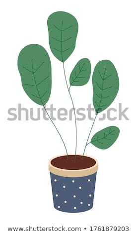 Dekoratív zöld növény rövid levelek kerámia Stock fotó © robuart