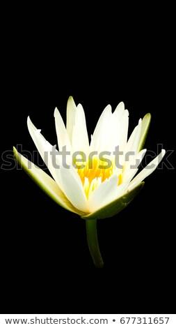 Rood · vreedzaam · vijver · bloem · water - stockfoto © frameangel
