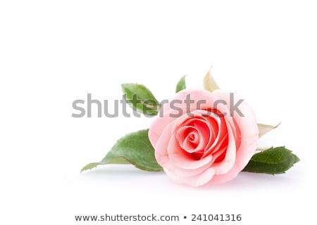 One pink rose Stock photo © boroda