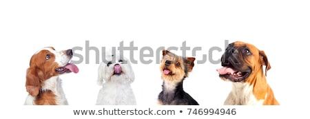 kutyakölyök · felfelé · néz · Bordeau · francia · masztiff · valami - stock fotó © feedough