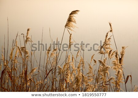 Stock photo: Common Reed by the Stream