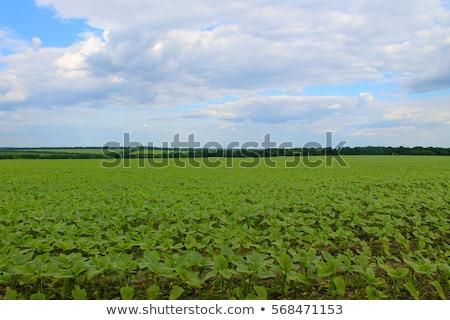 Mező kezdetek napraforgók farm kék ég tavasz Stock fotó © Mikko