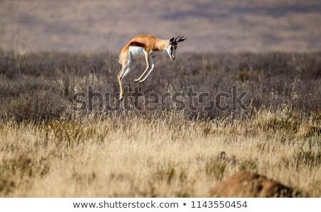 Pronking springboks Stock photo © TanArt