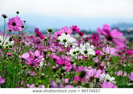 Violeta campo de flores naturaleza belleza color Foto stock © shihina