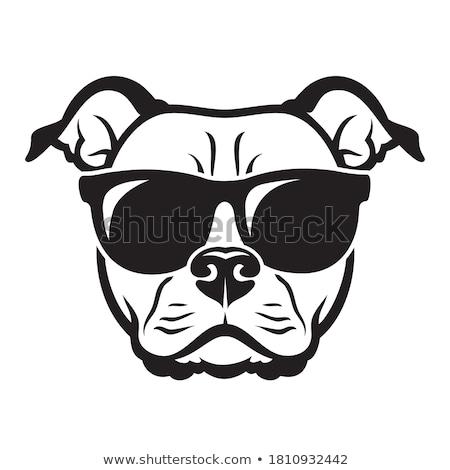 american staffordshire bull terrier Stock photo © eriklam