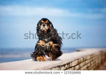 cachorro · americano · sessão · verde · gramado · feliz - foto stock © o_lypa