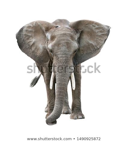 Cute · safari · животных · набор · изолированный · белый · Safari - Сток-фото © bluering