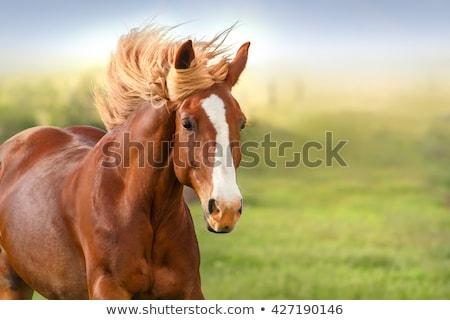 portrait of a brown horse stock photo © kotenko