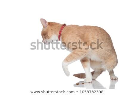 Singolare arancione cat indossare rosso in giro Foto d'archivio © feedough