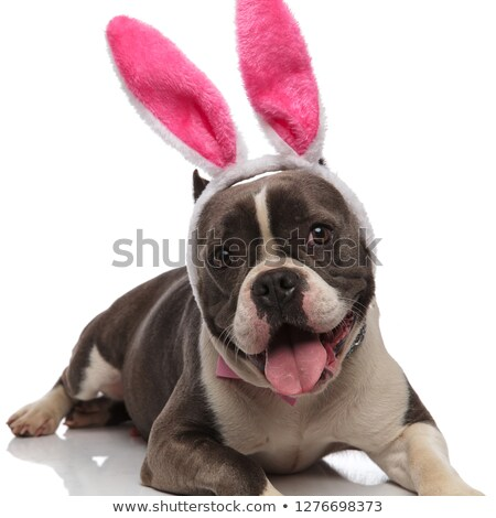 close up of panting american bully with bunny ears headband Stock photo © feedough
