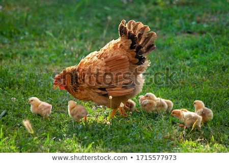 Little chicks on the farmyard Stock photo © colematt
