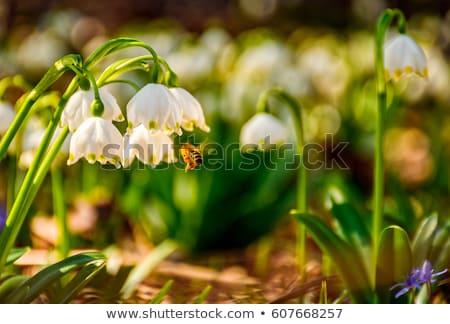 primavera · floco · de · neve · flores · perene · florescimento · planta - foto stock © artush