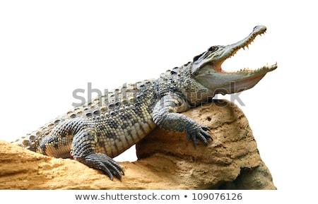 Krokodil izolált sziget illusztráció víz fa Stock fotó © colematt