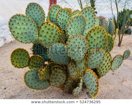 cactus plants in the desert Stock photo © adrenalina