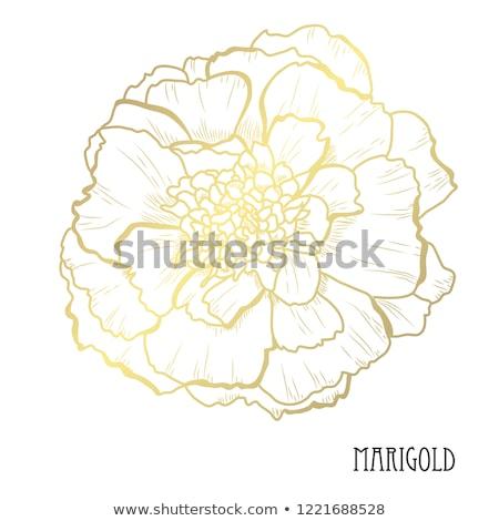 Marigold Flowers Vector Stock photo © kostins