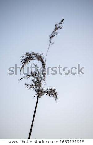 Silhouete of the reed  Stock photo © orson