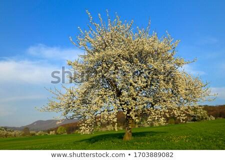 Cherry flowers (Prunus avium) Stock photo © rbiedermann