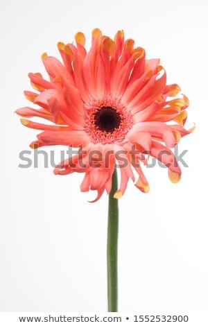 красочный · Ромашки · три · изолированный · белый · фон - Сток-фото © illustrart