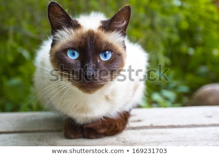 Sziámi macska kert kék ül kerti bútor macska Stock fotó © ivonnewierink
