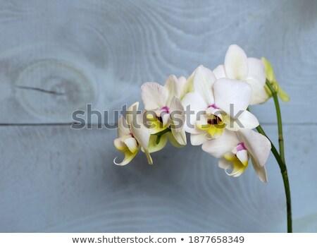 синий орхидеи довольно цветы зеленый Blur Сток-фото © lunamarina