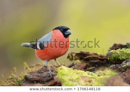 Parlak güzel kuş turuncu hayvanlar siyah Stok fotoğraf © taden