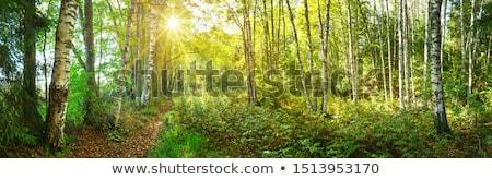 summer birch woods with sun stock photo © mikko