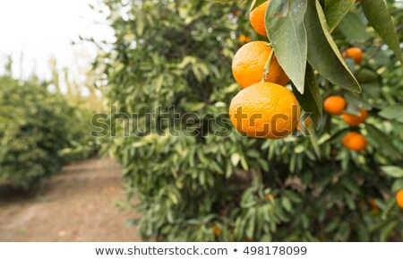 fruto · de · laranja · árvore · laranja · frutas · oval · folhas · verdes - foto stock © cboswell