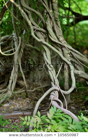 twisted tropical tree roots in rain forest stock photo © mcherevan