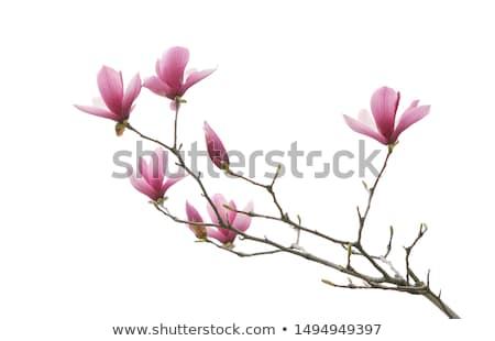 Printemps branche blanche fleur soft accent Photo stock © FOTOYOU