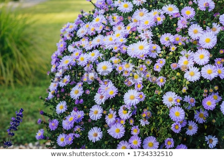 Autumn aster Stock photo © rbiedermann