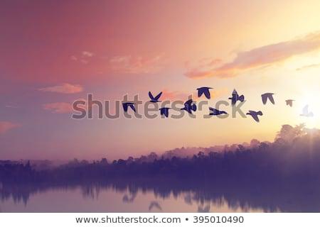Aves voador pôr do sol céu sol Foto stock © smuki