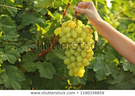 виноград растущий виноградник мелкий Сток-фото © ndjohnston