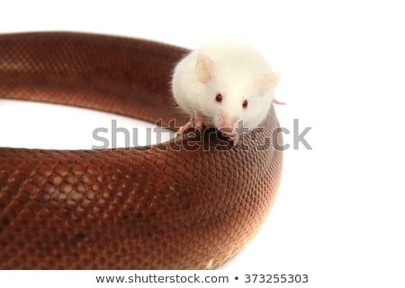 Szivárvány kígyó barát egér kicsi fehér Stock fotó © jonnysek