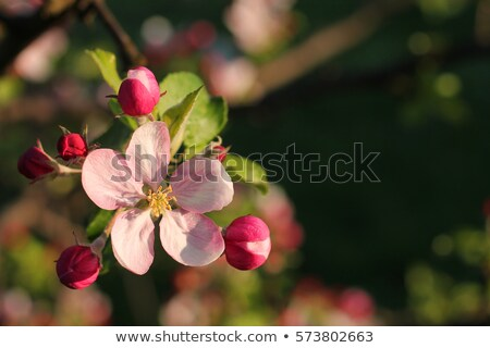 Apple tree bud opening in an orchard Stock photo © sarahdoow