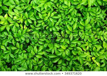 緑色の葉 · 春 · 壁 · 抽象的な · 葉 · 背景 - ストックフォト © fotoyou