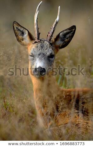 curious wild roe deer doe stock photo © taviphoto