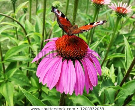 Big swallowtail butterfly feeding Stock photo © Ansonstock