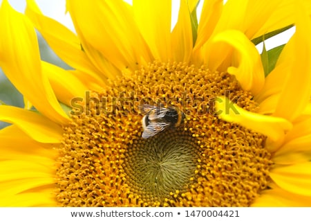Bumblebee on a sunflower Stock photo © johnnychaos