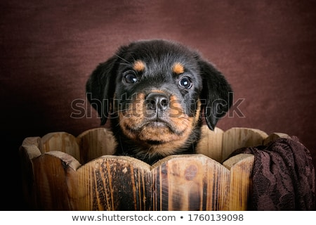 rottweiler and basket Stock photo © cynoclub