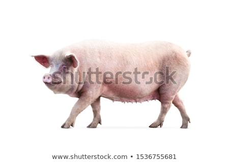 pig on a white background stock photo © njaj