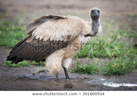 White-backed Vulture (Gyps africanus) Stock photo © ajlber