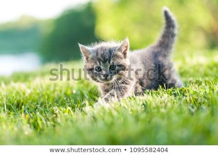 baby kitten outdoors in grass stock photo © tobkatrina