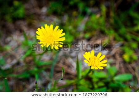 Paardebloem 17 bloem gras natuur blad Stockfoto © LianeM