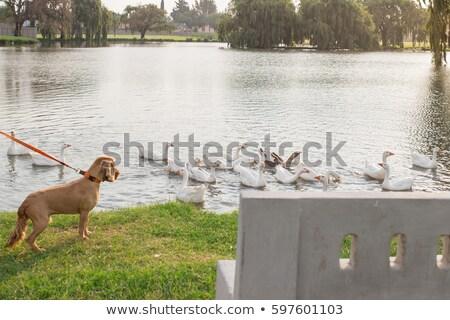 スイミング 犬 再生 泳ぐ 演奏 かわいい ストックフォト © bradleyvdw
