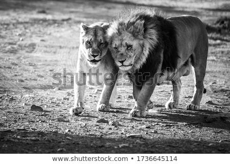Paresseux herbe delta Botswana chat lion Photo stock © dirkr